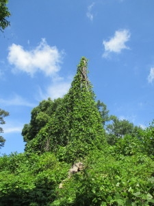Kudzu grows vertically ...or any direction ...very rapidly